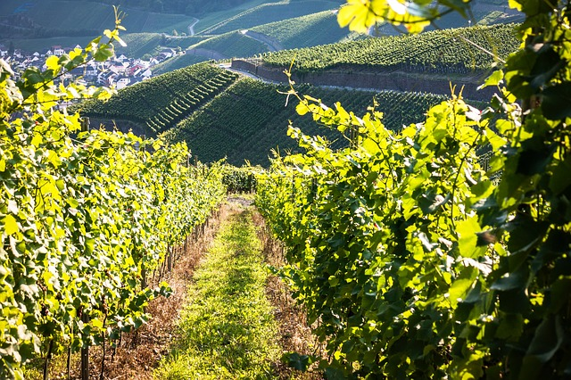 vines-928523_640