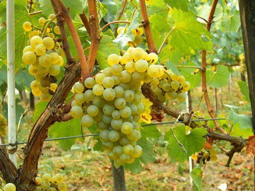 640px-Chardonnay_Moldova