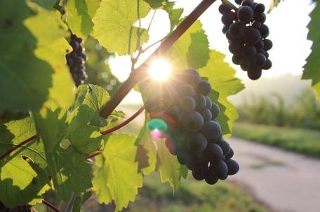 grapes-984493_640