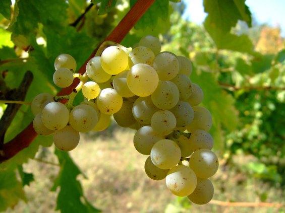 Sauvignon_blanc_vlasotince_vineyards
