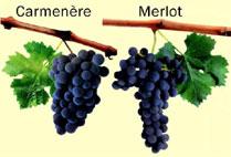 Carmenere_Merlot