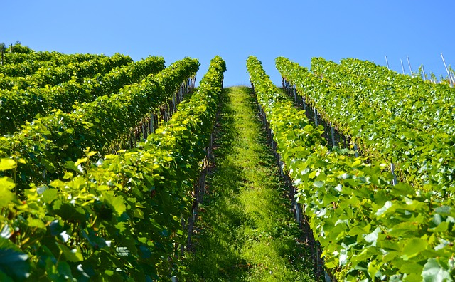 vineyard-1612092_640