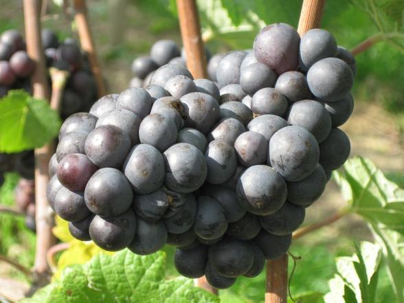 grapes-510425_960_720